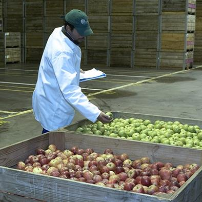 man in warehouse examining wooden bins of green and red apples